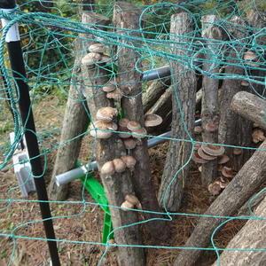 写真:椎茸菌打ち体験その後の収穫状況!