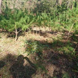 写真:アカマツ林の再生活動