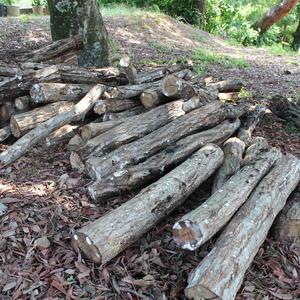 写真:原木シイタケ 今年もバッチリ着床しました。