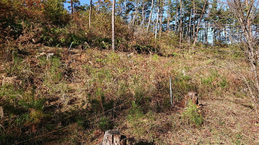 ④開始前のアカマツ林.jpg
